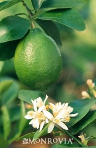 2475-bearss-seedless-lime-close-up