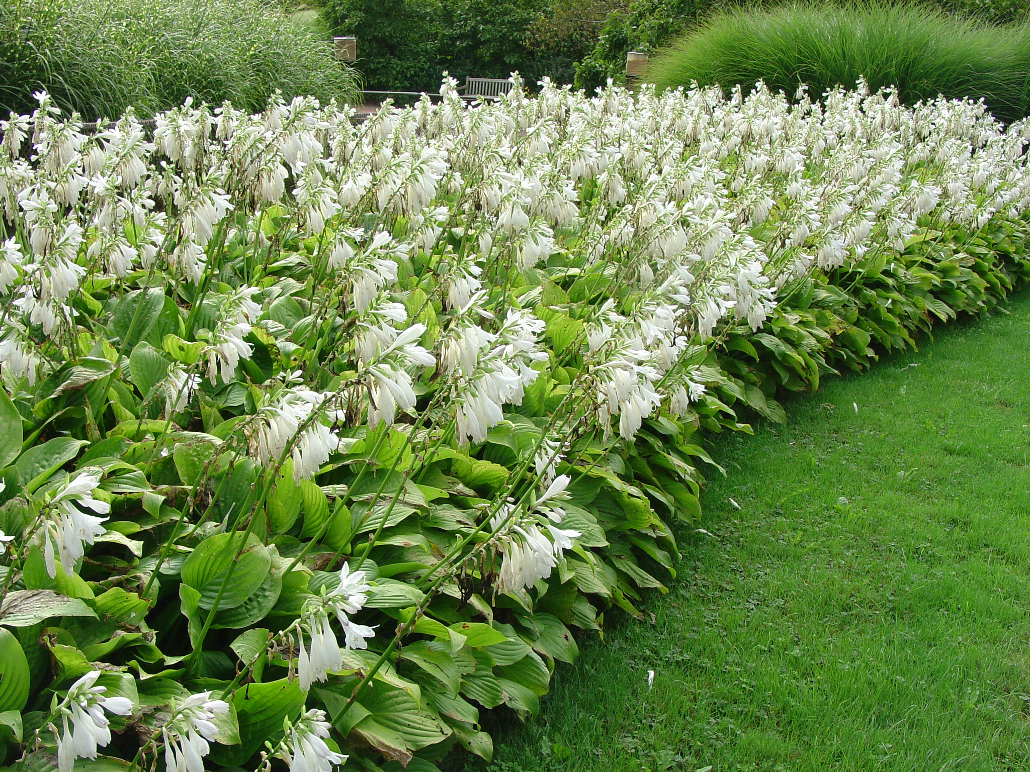 Hosta for Landscaping plants