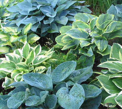 Ab Seed Farmers Market Garden Center Hostas