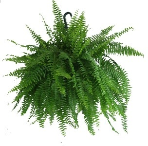 Image result for fern baskets